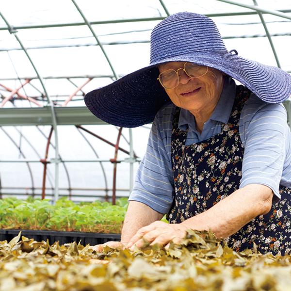 毎年おばあちゃんちに集まって阿波晩茶を手作りしています