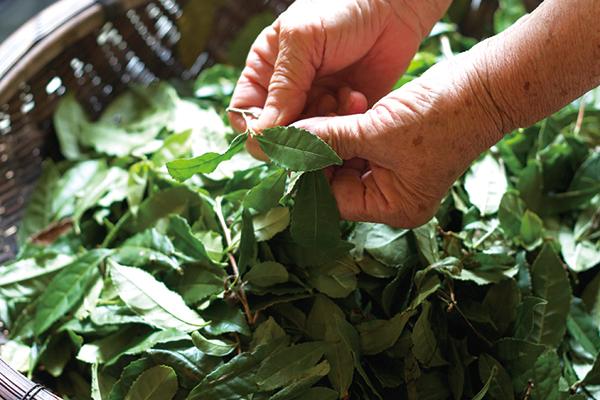 自然農法で育て摘んだ茶葉